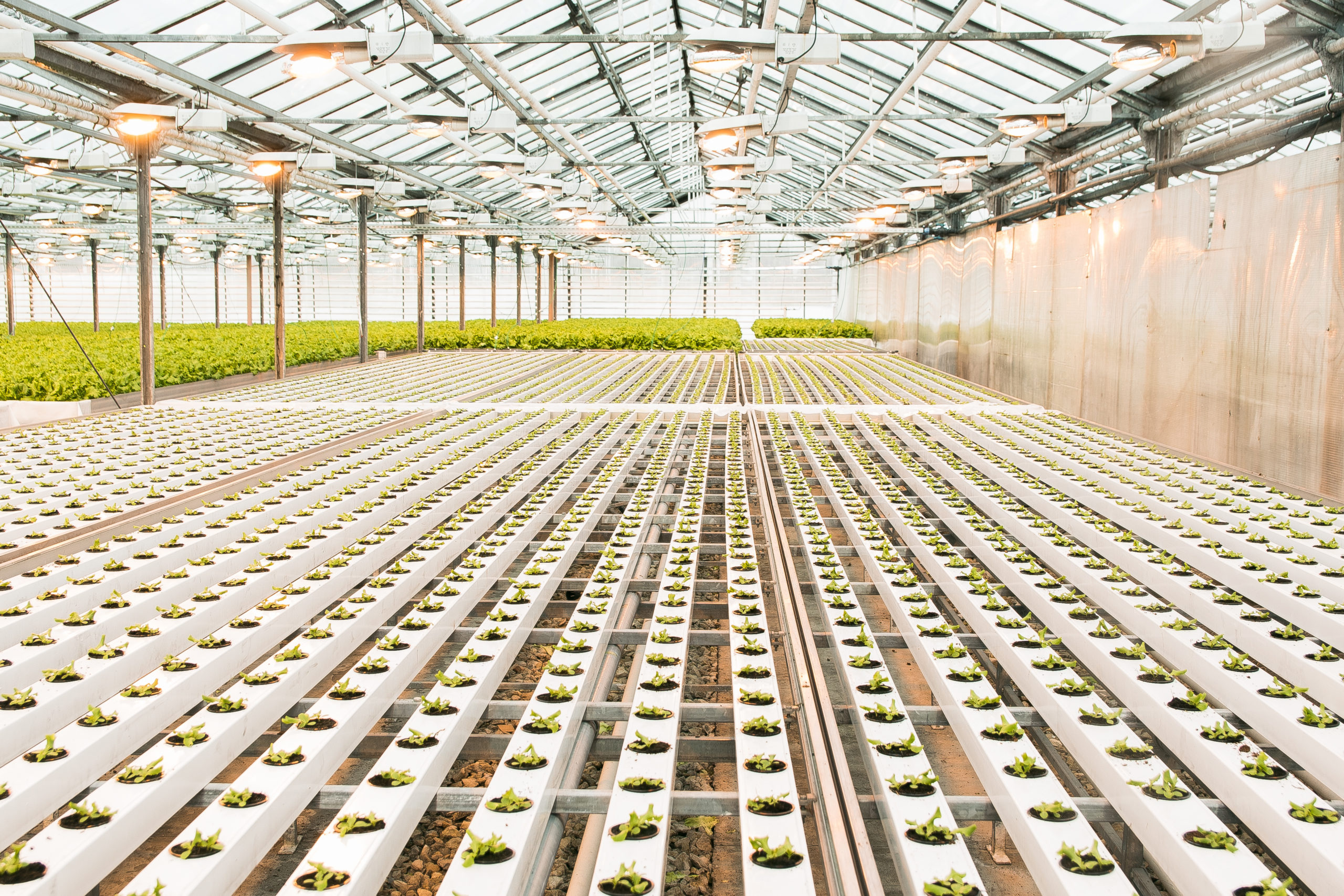 Beautiful large bright greenhouse. A large number of lettuce seedlings. Celebrate the day of the earth. Ecological care of plants.